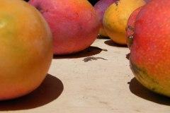 Gecko-Mango